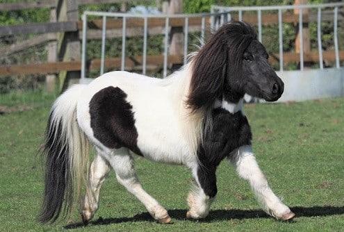 Shetland pony, most popular pony breed for kids