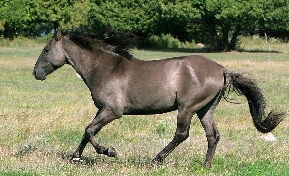 wild Sorraia horse breed