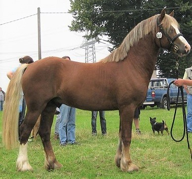 Welsh Section D Cob horse breed