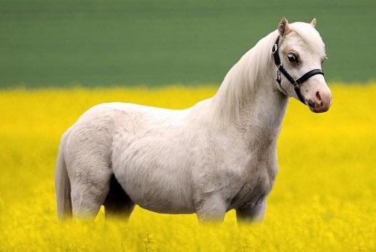 Welsh Pony, a good all-round kids pony breed