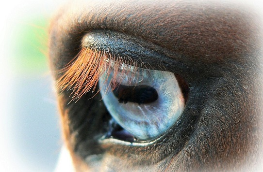 Close of a horse with a blue eye