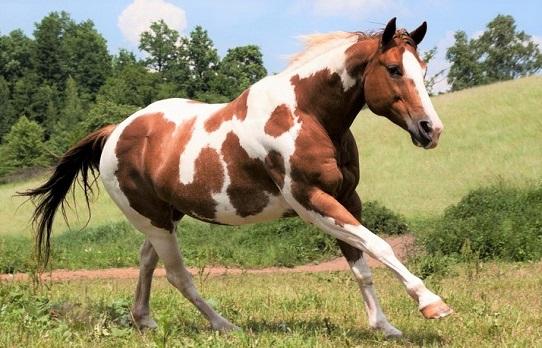 Beautiful American Paint Horse breed