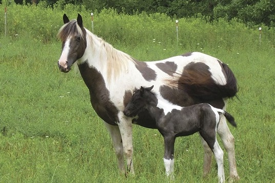 Choctaw Horse and foal