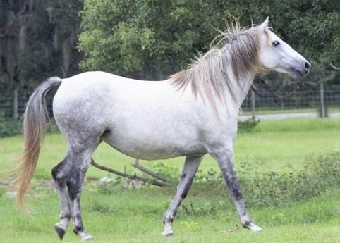 Florida Cracker horse breed, native breed to Florida