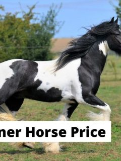 Gypsy Vanner Irish Cob horse price. How much does a Gypsy Vanner cost?