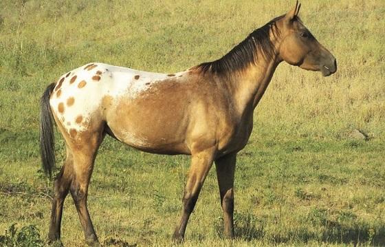 Wild Nez Perce native American horse breed