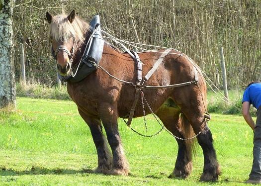 Percheron horse pulling farm machinery