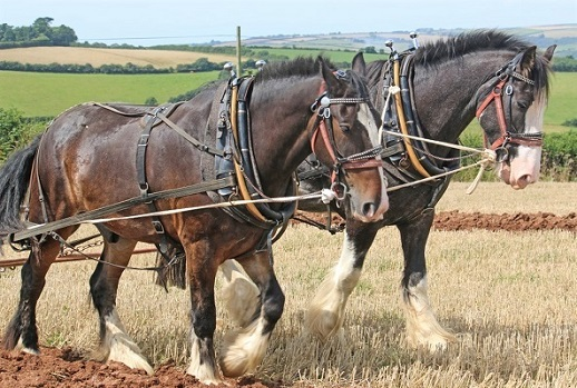 Shire horse breed, the biggest horses in the world