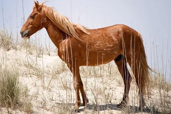 Wild Spanish Mustang horse breed
