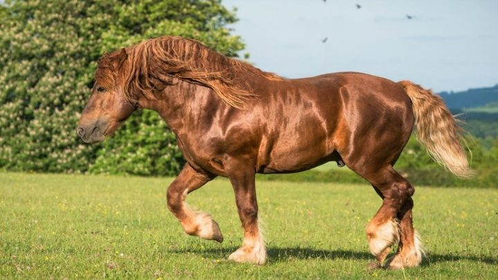 Strongest horses and horse breeds, Suffolk Punch horse
