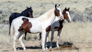 Types of Mustang horses. Wild mustang horse breed differences