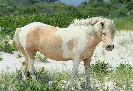 Wild Chincoteague Pony