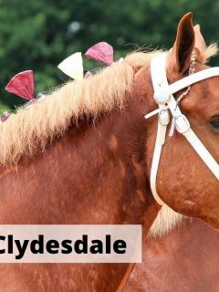 Belgian Vs Clydesdale horses. What are difference between these two heavy draft horse breeds