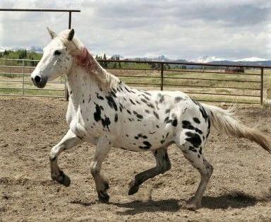 Ghost, Appaloosa horse from Heartland TV series
