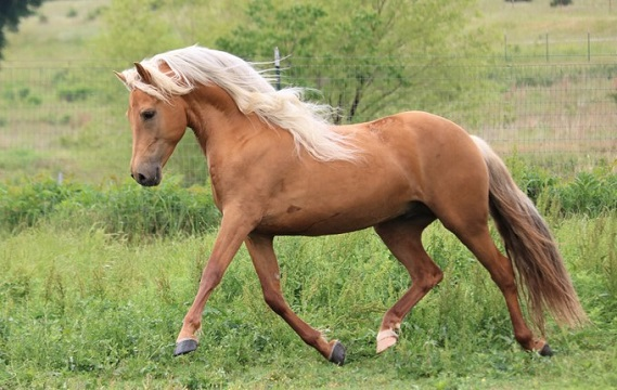 Palomino colored Morgan horse running in a field