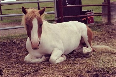 Pogey, white and brown pony on Heartland