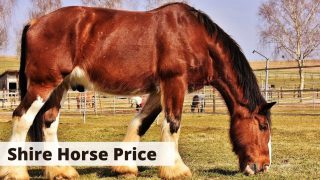 Shire Horse Price, how much does a shire horse cost?