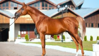 Most famous stallions in history