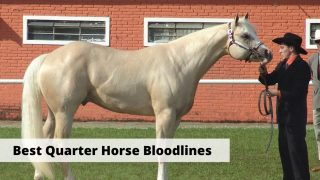 Best Quarter Horse bloodlines from famous ranch horses