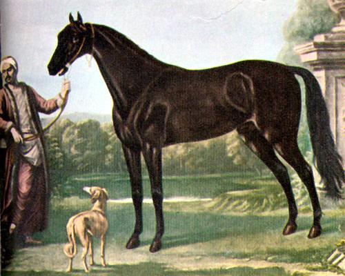 Byerly Turk, famous Arabian horse