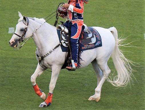 Thunder, Arabian horse mascot for the Denver Broncos American football team