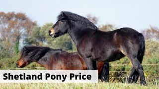 Shetland Ponies price, how much do they cost?