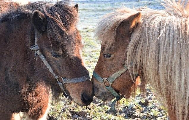 Two Shetland ponies saying hello