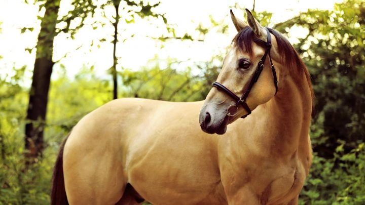 American Quarter Horse breed facts and history