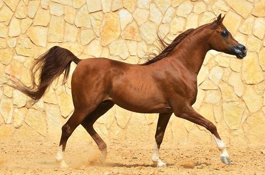 Purebred chestnut Arabian horse