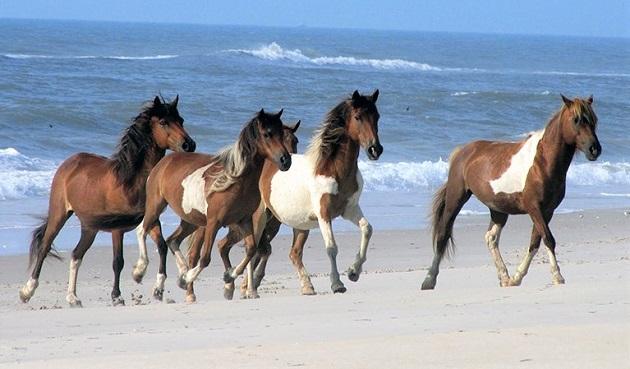 Assateague and Chincoteague Islands wild horses