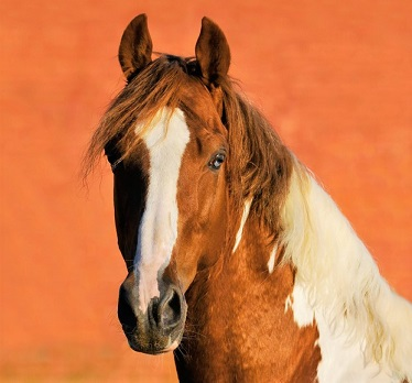 Beautiful Tennessee Walking horse looking into the camera