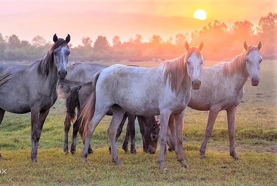 Herd of Caspian horses