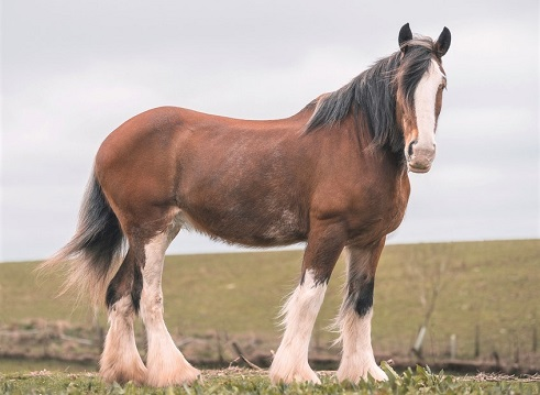 Large Clydesdale horse breed in a field