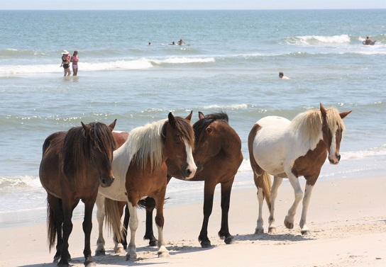 Corolla Wild Horses of the Outer Banks, North Carolina