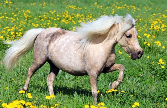 Falabella pony palomino trotting in a field