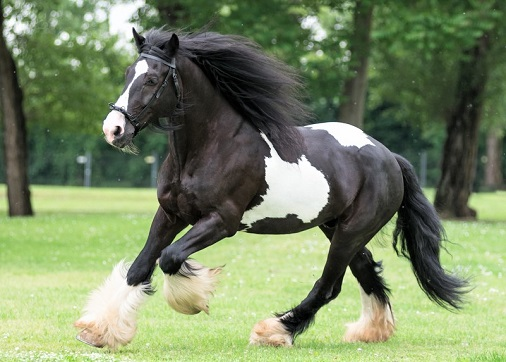 Gypsy Vanner horse at a trot