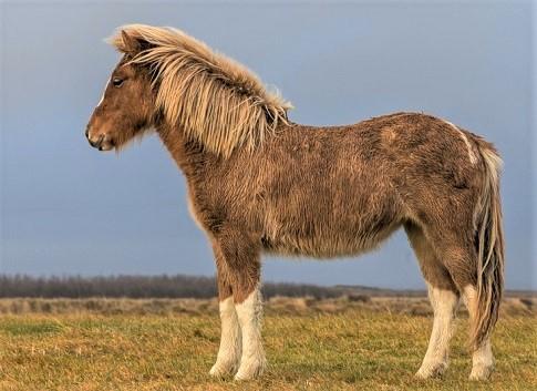 Icelandic horse in the wild