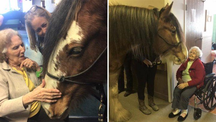 Loving Clydesdale horses Bring Joy to Seniors in Nursing Home