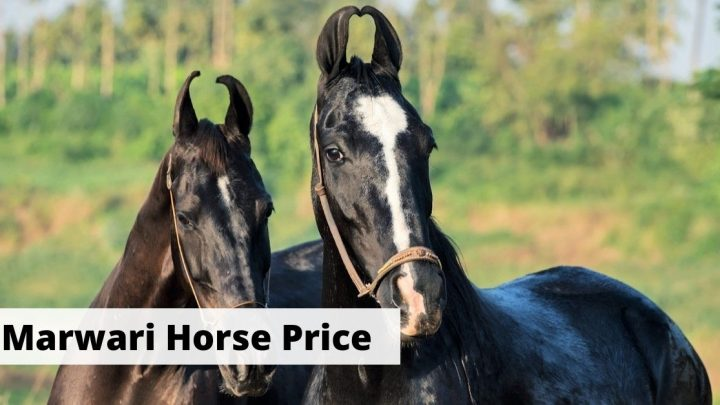 Marwari horse price. How much do Marwari horses cost?