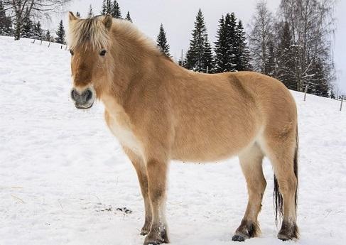 Norwegian Fjord horse breed quiz