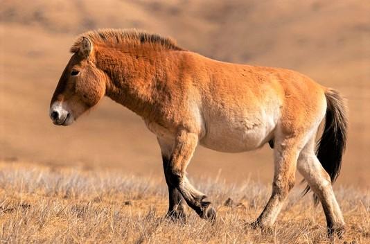 Przewalski's Horse wild horse breed