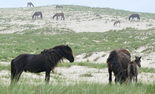 Wild horses of Sable Island in Nova Scotia, Canada