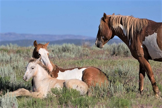 Wild horses in the Sand Wash Basin in Colorado