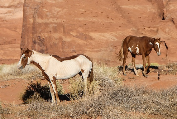 Wild horses in Utah