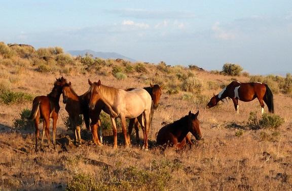 Virginia Range wild horse herd