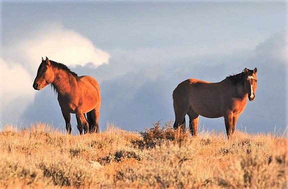 Wild horses in the Pryor Mountains Wild Horse Range, Montana