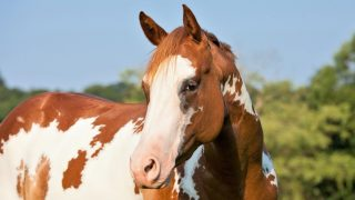 Beautiful cheap Paint horse breed