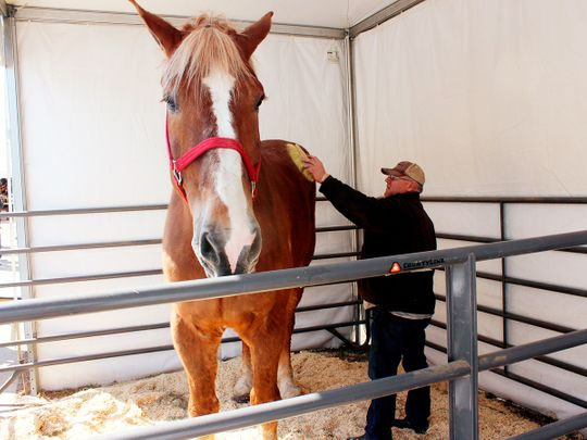 Big Jake biggest horse being groomed by his owner