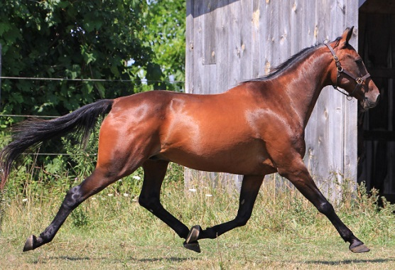 Standardbred horse running in a dry field