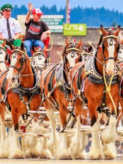 Clydesdale horse breed facts